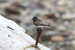 Black Phoebe (maritimeorca) Tags: animal bird blackphoebe chamberscreekproperties flycatcher phoebe sayornisnigricans
