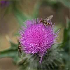 Hoverflies on Thistle (Hector Patrick) Tags: dng flickrelite lightroom66 northyorkmoors northyorkshire pentaxdfa100f28wrmacro pentaxk1 rosedale rosedaleabbey botany britnatparks flowers smcpdfa100f28 hoverflies thistle
