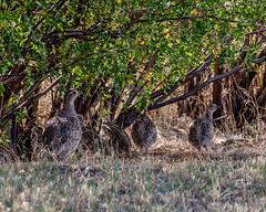 PARTRIDGE, Gray (teddcenter) Tags: bird graypartridge molt montana partridge perdixperdix stillwatercounty uplandgamebird