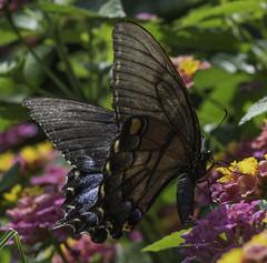Butterfly_SAF0577-1 (sara97) Tags: butterfly copyright2016saraannefinke flyinginsect insect missouri nature outdoors photobysaraannefinke pollinator saintlouis towergerovepark urbanpark swallowtail
