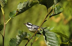 Black-Throated Gray Warbler (jerrygabby1) Tags: