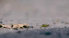 Dem Winter entgegen (Lukas Litz Obb) Tags: nahaufnahme palomenaprasina animalmacrophotograph animalmigration closeupimage closeupphotography greenshieldbug macrophotography 169 dedeutschland em1 europa format genre gruenestinkwanze herkunft insektspinne makroaufnahme makroaufnahmetier makrofotografie neuwied omd oberbieber olympus rheinlandpfalz tier umwelt wanderung wanze nr nwd obb superia160 vsco ft mzuiko40150pro