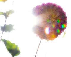 Autumnal Sunshine (The Crewe Chronicler) Tags: flower sun sushine lensflare dahlia canon canon7dmarkii lserieslens lseries crewe