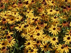 Rudbeckia (V@n) Tags: flowers yellow coneflower rudbeckia blackeyedsusan