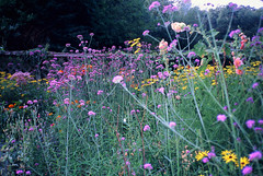 (yssica klein) Tags: nature flower 35mm slide olympus park analogue analog london travel