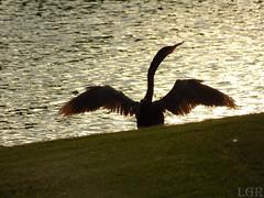 Anhinga (Luis G. Restrepo) Tags: p2060004 patoaguja anhinga anhingaanhinga anhingidae stpetersburg florida usa northamerica