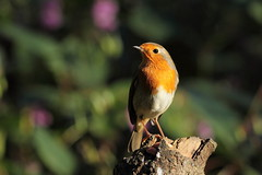 Overseeing his domain (david.england18) Tags: robinredbreast robin nuthatches heywood domain smallbirds various tits blue coal great birdsuk queensparkheywood canon7d canonef300mmf4lisusm
