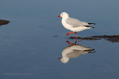 High steppin' (Howard Ferrier) Tags: oceania rock vertebrate australia chordate seq sunshinecoast walking bird kingsbeach tidalpool seagull caloundra reflection queensland chordata tidepool vertebrata walk