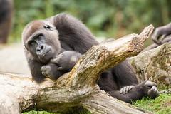 2014-09-19-12h23m19.272P3682 (A.J. Haverkamp) Tags: germany zoo gorilla hannover dierentuin westelijkelaaglandgorilla kiburi httpwwwzoohannoverde pobhannovergermany dob27062004 canonef500mmf4lisiiusmlens
