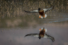 Northern Shoveler (Explore) (Eric Gofreed) Tags: duck northernshoveler shoveler basquedelapache
