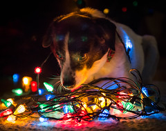 Christmas light fascination (mgstanton) Tags: christmas dog lights bulbs 52weeks2014