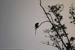 MACAQUE (DIGITAL / EXPRESSIONS / LB) Tags: travel monkey rainforest thenorthface mangrove jungle malaysia borneo backpack orangutan flyingsquirrel macaque proboscismonkey canon7020028is