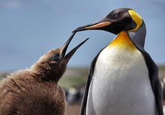 King penguin and fluffy baby (Sallyrango) Tags: two birds pinguinos penguins wildlife malvinas kingpenguins volunteerpoint natureandwildlife thefalklands wildpenguins adultandbabybird