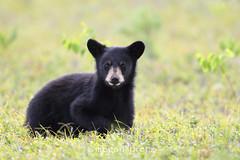 Hello There! (Megan Lorenz) Tags: wild ontario canada nature cub wildlife blackbear bearcub wildanimals babyanimals algonquinprovincialpark mlorenz meganlorenz