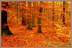 Der Zauber der Buchen.-The magic of the book. (Karabelso) Tags: autumn trees red rot fall nature leaves yellow forest germany sony laub herbst natur gelb sachsen zwickau wald baum graurock schneppendorf
