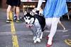 Tin man (Becky~Sue) Tags: dog halloween dorothy costume husky fundraiser tinman thewizardofoz dakin dakinpioneervalleyhumanesociety dpvhs
