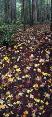Fallen Leaves in the Fall as Summer leaves us into the Autumn Rain (Vern Krutein) Tags: california travel usa nature northerncalifornia landscape scenery natural sonomacounty wilderness scenes scenics armstrongwoods armstrongwoodsstatepark geoform