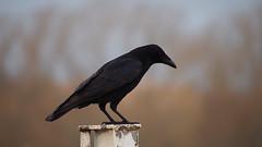 Black Watch...... (klythawk) Tags: nottingham blue winter brown white black bird nature grey dof post olympus panasonic crow omd corvus 100300mm em5 colwickpark klythawk