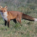 Fox on the Carse