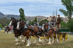 Mansfield Show 2015 (Dreamscope Photography) Tags: show horses mare country australia aussie stallion equine mansfield clydesdales rushworth 2015 gelding countryshow equestrion kathrynpotempski dreamscopephotography heaveyhorse mansfieldshow moorawookingdraughthorsemuster