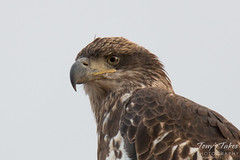 Regal young eagle