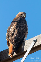 Red Tailed Hawk enjoys the afternoon sun