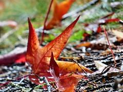 Hojas cadas (juantiagues) Tags: hojas otoo juanmejuto juantiagues