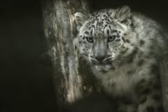 Snow Leopard (Blitzknips) Tags: portrait cat mammal bigcat katze snowleopard tierparkberlin schneeleopard säugetier tierportrait