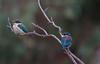 sacred kingfisher (Todiramphus sanctus)-6720 (rawshorty) Tags: birds australia canberra act jerrabomberrawetlands rawshorty