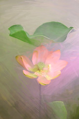 Lotus Flower Paintings / Photographic images using Akvis Oil Paint Filter (Bahman Farzad) Tags: flower painting paint image lotus drawing paintings drawings filter oil based walldecor lotusflower walldecorations akvis imagebased lotusflowerpainting lotusflowerpaintings lotusfloweroilpaintings lotusfloweroilpainting