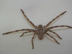 Sparassidae>Neosparassus calligaster Shield Huntsman spider DSCF5570 (Bill & Mark Bell) Tags: exmouth westernaustralia australia geo:town=exmouth geo:state=westernaustralia geo:country=australia geo:lon=11425453egeolat2217752sgeoalt8m 11425453e2217752salt8m taxonomy:kingdom=animalia animalia taxonomy:phylum=arthropoda arthropoda taxonomy:class=arachnida arachnida taxonomy:order=araneae araneae taxonomy:superfamily=sparassoidea sparassoidea taxonomy:family=sparassidae sparassidae taxonomy:genus=neosparassus neosparassus calligaster taxonomybinomialnameneosparassuscalligaster neosparassuscalligaster taxonomycommonnameshieldhuntsmanspider shieldhuntsmanspider spider