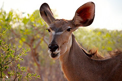 Female Kudu Browsing (pbmultimedia5) Tags: africa park nature animal female canon eyes cheek explore southern national antelope greater botswana chobe between kudu southernafrica savuti tragelaphus strepsiceros efs55250mm eosm2 pbmultimedia
