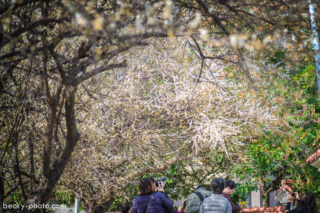 2015.Jan Plum tree 士林志成公園