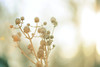 i'll find you. (The light within) Tags: morning flowers light brown sun nature colors frozen nikon time flare dried tamron f28 d3 muted 70200mm