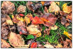 Autumn in winter (Olivia Heredia) Tags: california autumn winter usa naturaleza nature colors leaves us unitedstates sandiego socal otoo invierno hdr highdynamicrange balboapark colorfulleaves tonemapped tonemapping 1exp oliviaheredia oliviaherediaotero