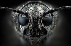 Studio stack: Xylotrechus (johnhallmen) Tags: macro studio insect coleoptera cerambycidae nikonpb6bellows canon5dmkii morfanon mitutoyomplanapo5x014