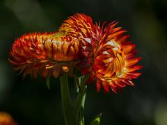 Xerochrysum bracteatum (Strawflower / Inmortal) (PriscillaBurcher) Tags: strawflower everlasting siempreviva inmortal paperdaisies goldeneverlasting xerochrysumbracteatum flordepapel inmortelle l1530448
