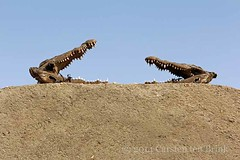 All that remains (10b travelling) Tags: africa sahara animal wall river dead island northafrica head reptile sudan nile crocodile sai remains 2013 carstentenbrink iptcbasic
