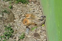 Silly (Silcoxski) Tags: uk silly cute animal wales photography meerkat europe britain cymru adorable welsh borth borthanimalarium esilcoxphotography