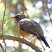 Abyssinian Thrush (Turdus abyssinicus)