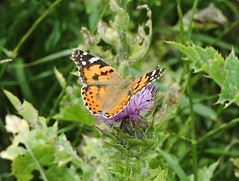 Vanessa cardui, Painted Lady (doctor_forester) Tags: paintedlady vanessacardui