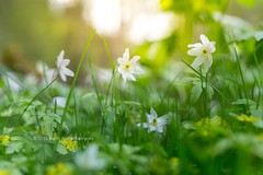 Springtime (B.AA.S.) Tags: flowers sunlight green nature grass norway forest woodland daylight norge spring dof natur growth skog forestfloor freshness springtime lier drammen selectivefocus anemonenemorosa woodanemone grnt buskerud skogbunn skogsbunn