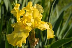 Looks Pretty, Smells FANTASTIC! (Fly Sandman) Tags: iris flower macro yellow spring magichour beardediris sidelight smellsgreat neoshomo