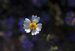 Daisy in Purple Bokeh: Mojave Super Bloom 2016 (Life_After_Death - Shannon Day) Tags: california road flowers blue sky mountain mountains flower detail macro nature floral rock stone pine forest canon garden movie landscape botanical outdoors photography eos petals rocks soft mt purple desert natural blossom bokeh gardening outdoor nevada alabama super sierra petal hills shannon national whitney mojave granite daisy bloom lone wildflowers mtwhitney dslr delicate mountwhitney botany wildflower canondslr canoneos heavenly intricate alabamahills inyo lifeafterdeath 50d shannonday canoneos50d eosdslr superbloom canoneos50ddslr lifeafterdeathstudios lifeafterdeathphotography shannondayphotography shannondaylifeafterdeath lifeafterdeathstudiosartandphotography shannondayartandphotography