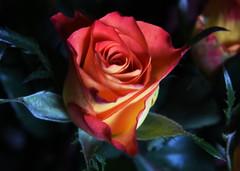 DSC_1485 Rose (PeaTJay) Tags: flowers roses plants macro nature rose gardens fauna reading flora indoors micro closeups berkshire rosebuds lowerearley nikond750