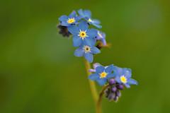 D71_6716A (vkalivoda) Tags: blue flower macro green depthoffield forgetmenot vergissmeinnicht kvtiny vergeetmenietje modr pomnnka