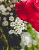 IMG_4173 (Josy'ta) Tags: rose rosas rosascolombianas flowers flores flor diadosnamorados love