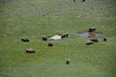 "Bison herd • <a style=""font-size:0.8em;"" href=""http://www.flickr.com/photos/75865141@N03/27042347914/"" target=""_blank"">View on Flickr</a>"
