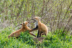 BNP_1225-Edit (MartinGene) Tags: wild nature fox kits