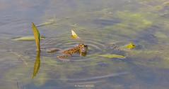 2016-05-06 - 16.06.57 - _L5B3132 - 1 (Rossell' Art) Tags: pad frog toad sapo rana frosch grenouille kikker rano bufo r krte crapaud  rospo doodebemde batracien